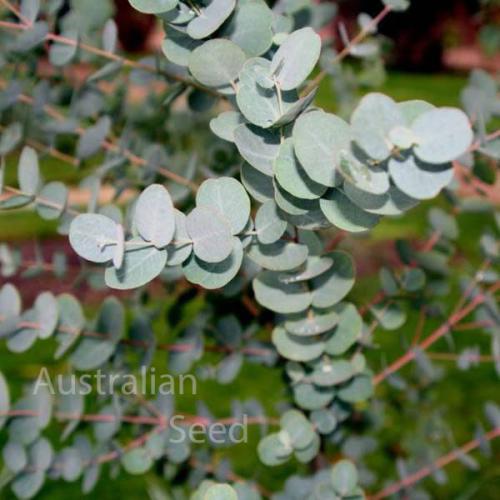 Buy Eucalyptus Cinerea Silver Dollar Gum Seed