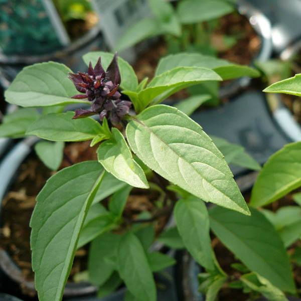 Basil Persian Anise View All Australian Seed