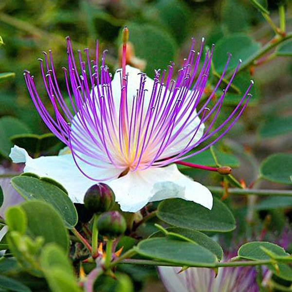Capparis Spinosa View All Australian Seed