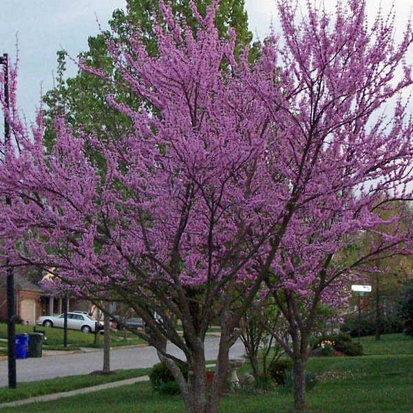 Australian Seed Cercis Canadensis