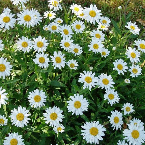 Australian Seed Shasta Daisy