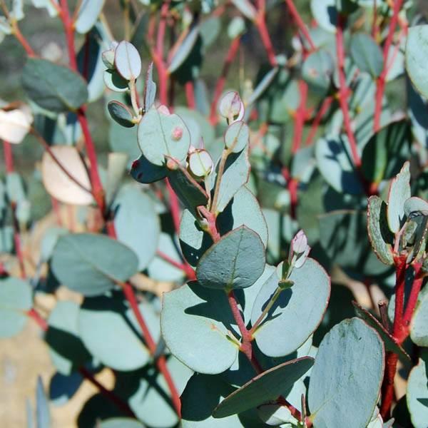Australian seed eucalyptus gunnii izmirmasajfo