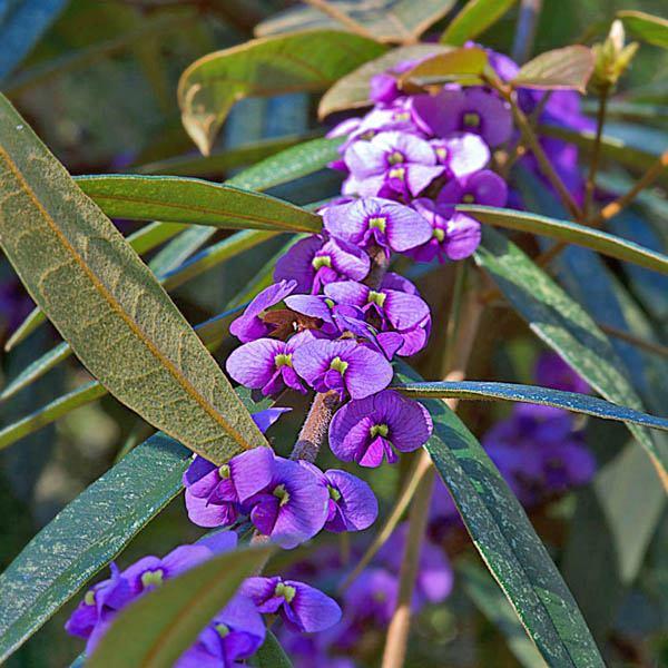 Hovea Acutifolia Hovea Australian Seed