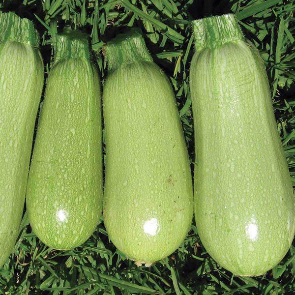 Bush Squash Varieties